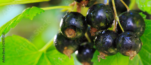 Fotografia Black currant berries on a branch in summer garden.