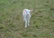 A white lamb