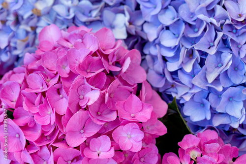 Wall Murals Hydrangea Colorful Hydrangea in summer garden. Macro photo.