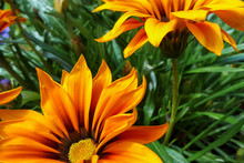 Vibrant Orange Gazania Flowers