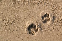 Dog Paw Prints On Sand