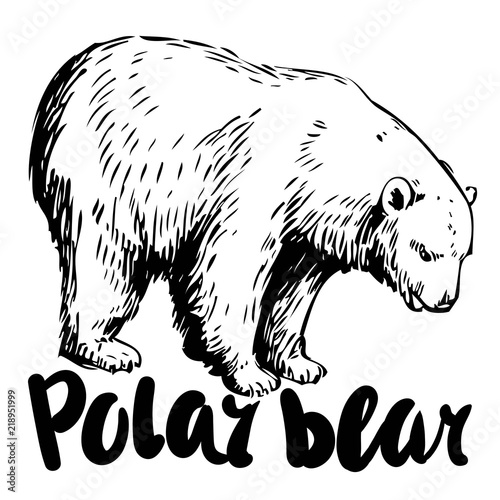 Sketch Of Polar Bear Hand Drawn Vector Illustration Buy