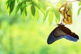 Butterfly change Chrysalis