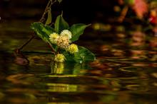 Buttonbush Growing In A Lake