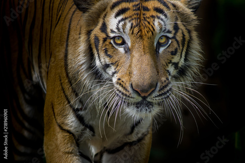 Keuken foto achterwand Tijger Tiger portrait in front of black background
