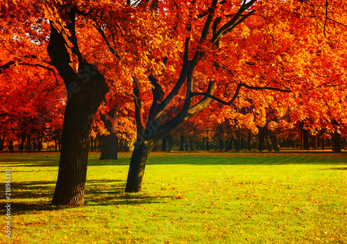 Foto auf Leinwand Rot kubanischen Autumn red trees in sunny September autumn park lit by evening sunshine. Spreading autumn trees with fallen autumn leaves. Sunny autumn landscape view of autumn city park