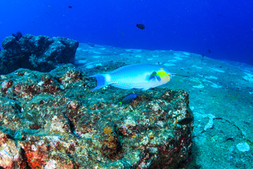 Colorful Parrotfish feeding on a tropical coral reef