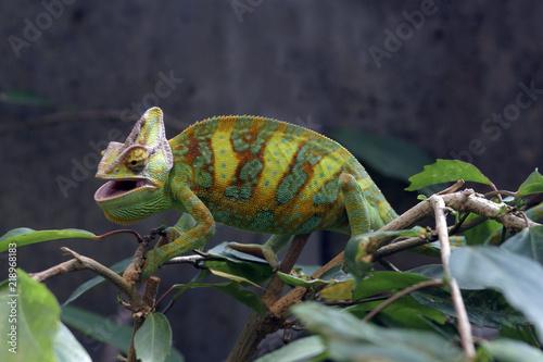 Staande foto Kameleon Jemenchamäleon (Chamaeleo calyptratus)