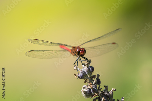 Fotografie, Obraz  Red mustached darter seen from the front and sitting on a dry laveder with brigt