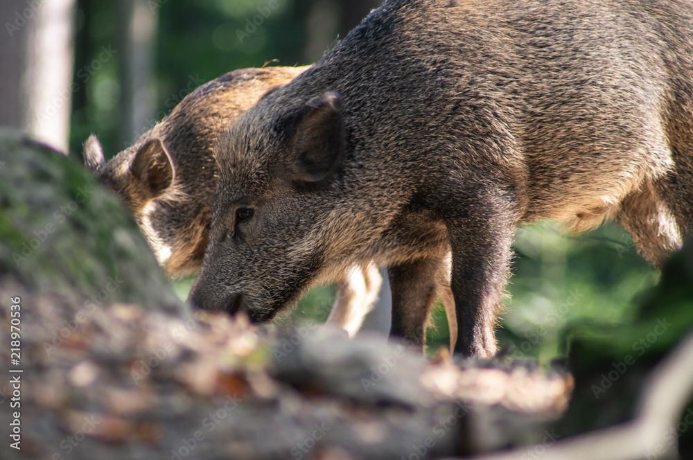 Fototapeta Wildschwein