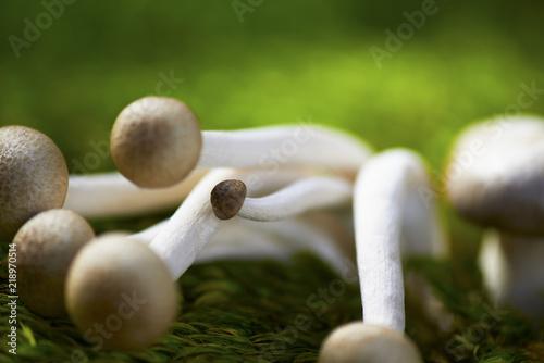 Hypsizigus tessellatus, (Brown Beech Mushroom , Beech Mushroom, BeechBrown Clamshell Mushroom);