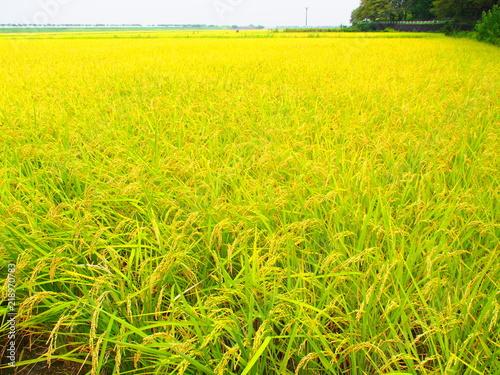Fotobehang Zwavel geel Rice paddy in the countryside of Oyama, Tochigi, Japan on August 21, 2018