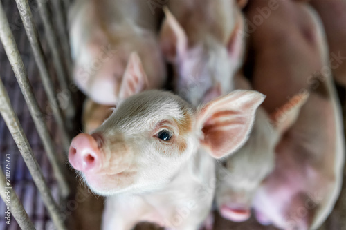 Small piglet waiting feed in the stall, group of mammal stay indoor on the farm Wallpaper Mural