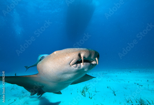 Close up of a Nurse shark.