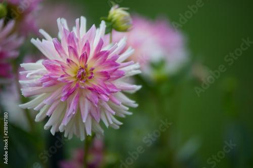 In de dag Dahlia dahlia rose violet et jaune sur fonds vert blanc et clair en été dans un jardin