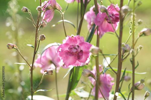 Lilac delphinium in the garden. Fototapet
