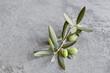 Gałązka oliwna na szarym tle. Oliwki