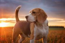 Beagle Portrait On The Backgro...