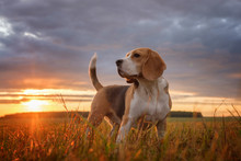 Beagle Portrait On The Background Of A Beautiful Sunset