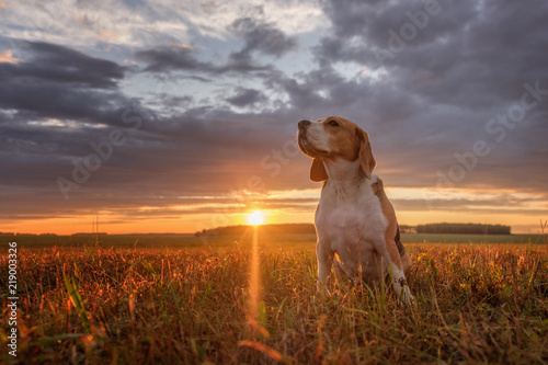 Poster Chien Beagle portrait on the background of a beautiful sunset
