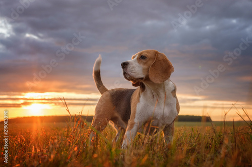 Stampa su Tela Beagle portrait on the background of a beautiful sunset