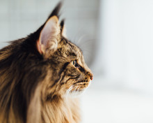 Maine Coon Cat, Close-up View
