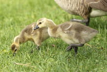 Two Goslings In Grass At Park.
