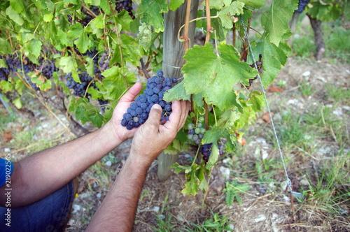 Fotografie, Obraz  vigneron qui vérifie la maturité du raisin