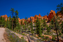 Beautiful Outdoor View Of Pinyon Pine Tree Forest Bryce Canyon National Park Utah