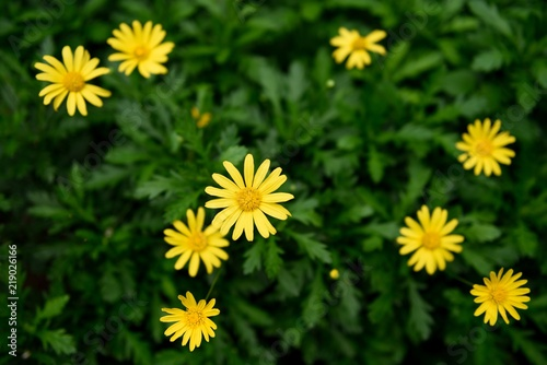 Several bright yellow daisy flowers with a blurred green leaf background in Costa Rica, Central America.