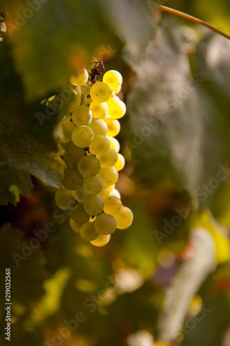 Grappe de raisin au soleil Fototapete