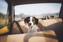 Dog Yawning In The Backseat Of A Vintage Car