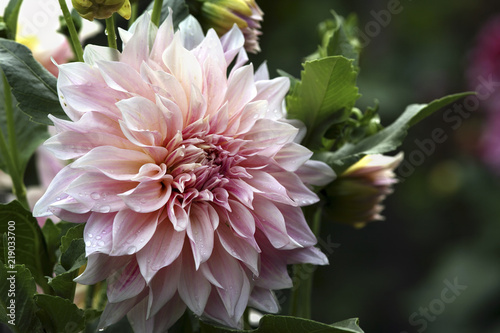 Photo sur Toile Dahlia Pale pink dahlia