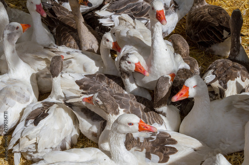 Fotografie, Obraz  Several domestic geese
