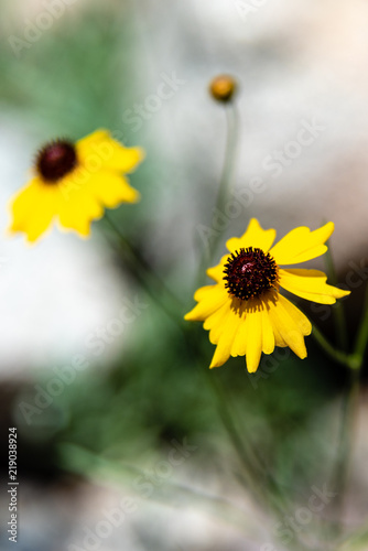 Fotografija  Black-eyed Susan at Pioneer Park. Newport, Washington