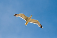 Flying Seagull With Wings Spread And Blue Sky In The Background, Bottom Up View