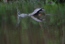 Great Blue Heron Diving For Fish