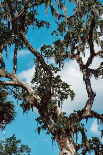 Fotografie, Obraz  Live Oak with Spanish Moss tree in Bonaventure Cemetery Savannah Georgia