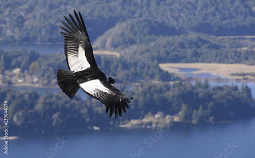 Photo Andean Condor, a large bird that lives along the Andes mountain range