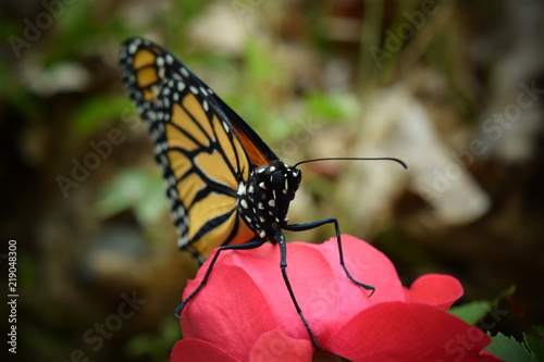 Male Monarch Butterfly on Red Rose