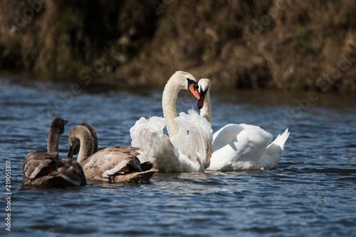 Keuken foto achterwand Zwaan Mute Swan, Swans, Cygnus olor