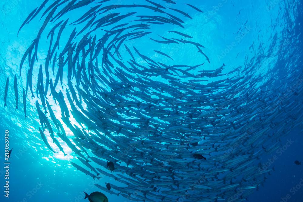Fototapeta A swirling tornado of Barracuda in blue water above a warm, tropical coral reef