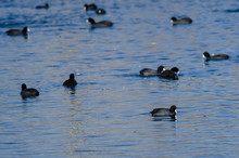 American Coots Swimming In The Cool Blue Water