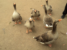 Brown Geese With Orange Beaks ...