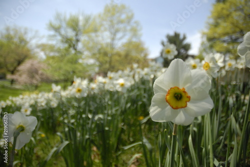 Papiers peints Narcisse Close up of white and yellow daffodil flowers