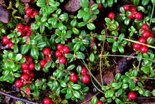 Low Bush Cranberry, Also Known As Lingonberry Or Cowberry