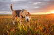 Beagle dog eats green grass in the meadow in the summer at sunset