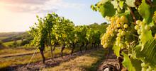 Grappe De Raisin > Vigne > Vin