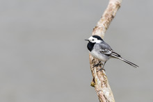 A White Wagtail (motacilla Alba) Is Sitting On A Branch