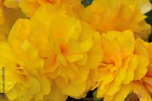 Foto op Canvas Narcis Beautiful lady-Rieger Begonia (Begonia×hiemalis Fostsch)